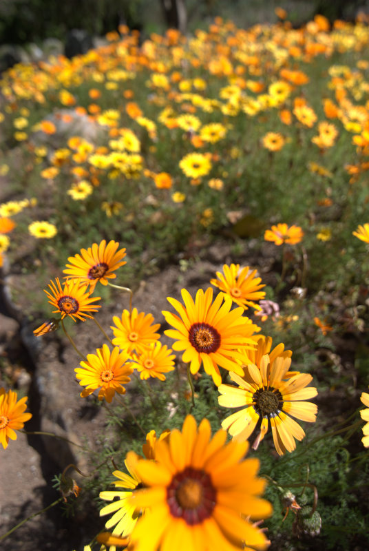 flowers at kirstenbosch